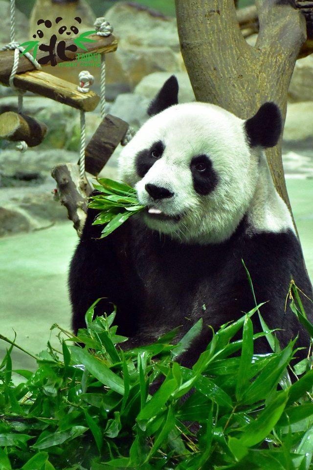 大貓熊「團團」、「圓圓」即將滿15歲。(台北市立動物園提供)