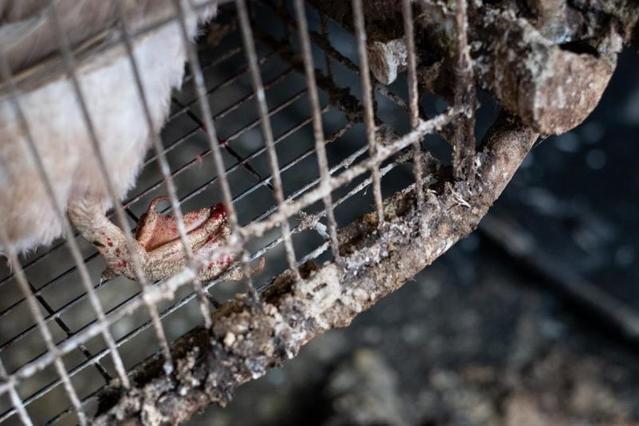 鴨子的腳蹼乾燥且不斷摩擦鐵籠。(翻攝自台灣動物社會研究會)