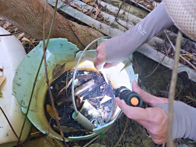 澄清湖恐現登革熱疫情 2週捕獲121隻病媒蚊   澄清湖風景區捕獲121隻白線斑蚊。  (高雄市衛生局提供)