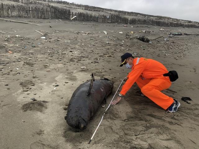 死亡擱淺!鯨豚媽媽為近岸生產卻誤食海漂垃圾.. | 保育類動物江豚就地掩埋。(海巡署提供)