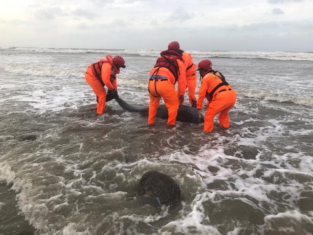 死亡擱淺!鯨豚媽媽為近岸生產卻誤食海漂垃圾.. | 瓶鼻海豚常為近岸生產而不幸身亡的案例相當多。(海巡署提供)