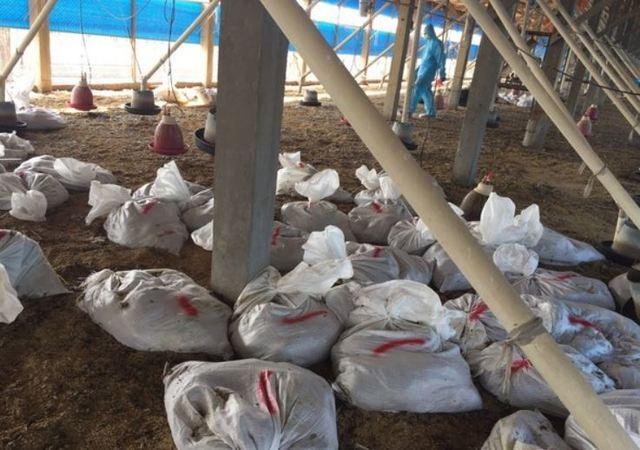彰化土雞場爆「H5N2禽流感」 撲殺近2.5萬隻土雞  
