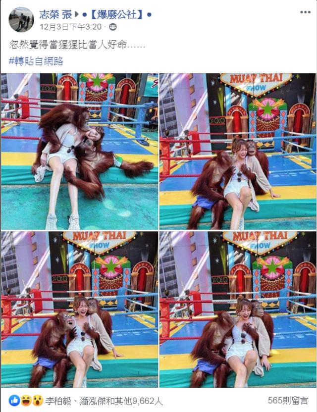 網路上近日瘋傳一組正妹被紅毛猩猩襲胸的照片。(翻攝爆料公社)