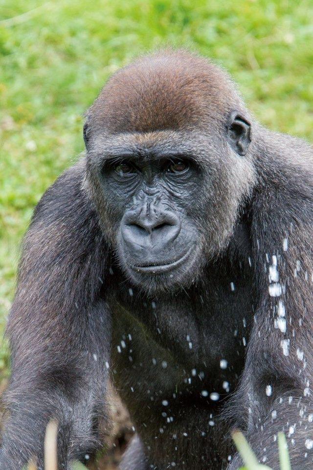 荷蘭來台的雌性金剛猩猩Tayari。(台北市立動物園提供)