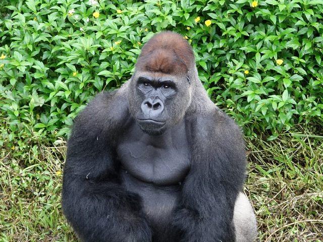 雄性金剛猩猩迪亞哥。(台北市立動物園提供)