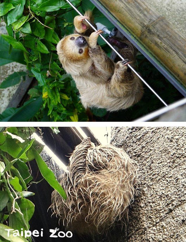動物也要保暖!北市動物園強化熱帶動物保暖措施   二趾樹獺不受低溫影響