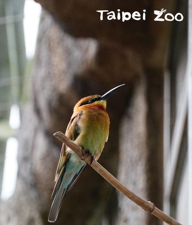 動物也要保暖!北市動物園強化熱帶動物保暖措施   栗喉蜂虎喜歡停棲在高處有雨遮的位置休息