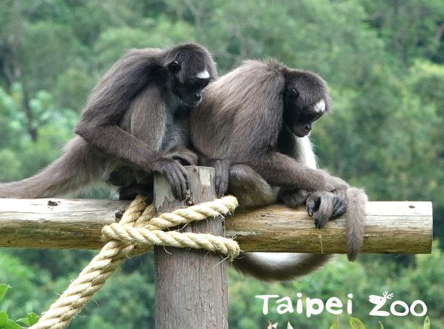 棕蜘蛛猴緊靠在一起取暖
