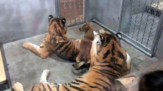 虎狗關一起沒出事?中國動物園:牠們一起長大的 |