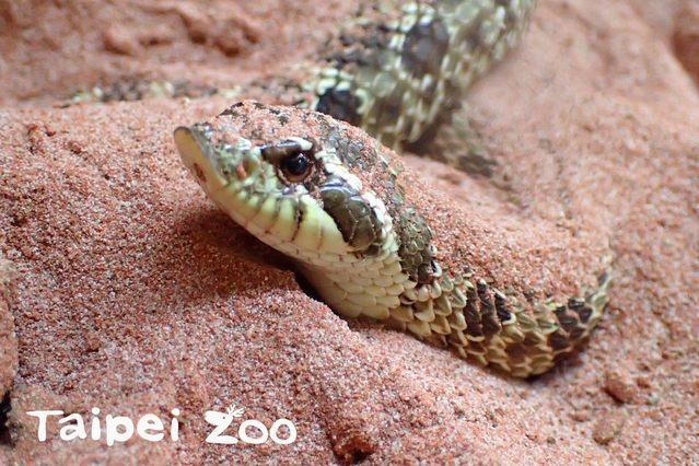兩棲爬蟲館裡可愛且溫馴的「豬鼻蛇」。(台北市立動物園提供,薛庭安攝)