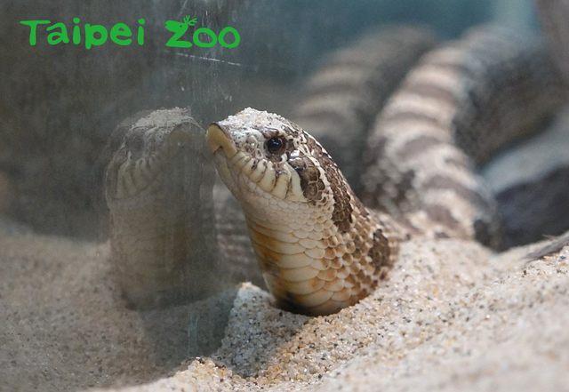 豬鼻蛇生長於乾燥沙地和矮草原,身上深褐色斑塊是牠們的最佳保護色。(台北市立動物園提供,薛庭安攝)