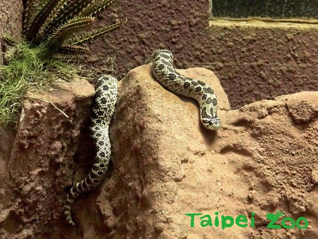 豬鼻蛇的毒性非常微弱,只能對蟾蜍等小動物造成危害,對人類是無害的。(台北市立動物園提供,薛庭安攝)