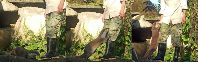 歐亞水獺「大金」特別親近保育員。(動物園提供)
