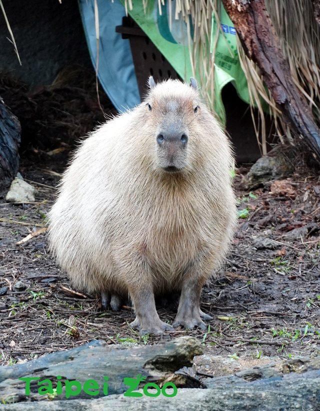 超萌水豚、豪豬是鼠不是豬!? 北市動物園鼠年特展明開跑 | 水豚是現存世界上最大的老鼠。(台北市立動物園提供)