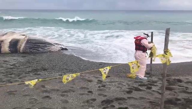 長濱岸際死亡鯨魚。(海巡署東部分署提供)