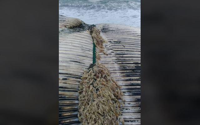 鯨魚被繩索套住、長滿藤壺。(翻攝自海洋委員會海洋保育署臉書)