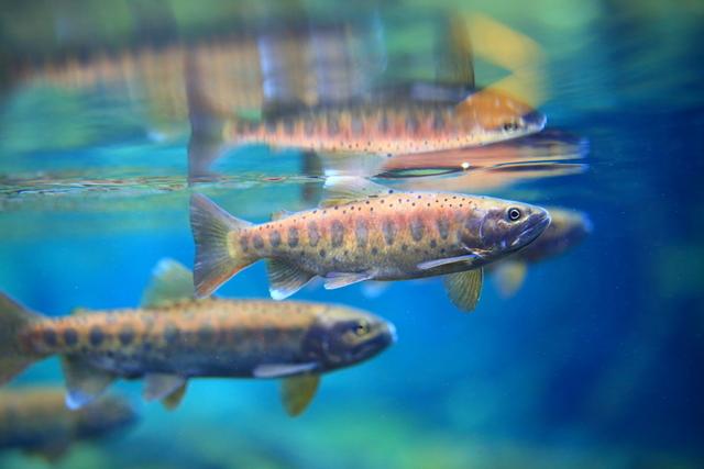 雪霸處積極復育台灣櫻花鉤吻鮭。(雪霸處提供)