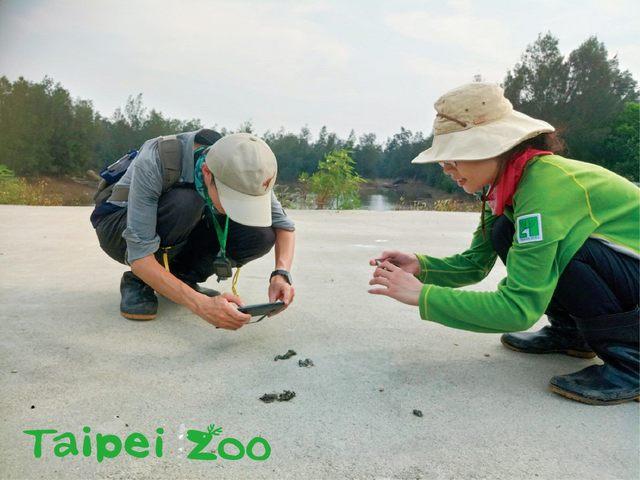 調查人員定期到金門水獺出沒的地點,撿取新鮮的水獺排遺樣本。(台北市立動物園提供)