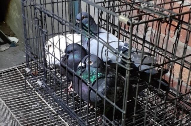 稽查人員在現場發現有4隻活鴿。(新北市動保處提供)