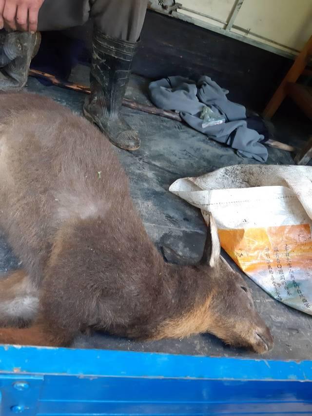 高姓獵人3月底疑似盜獵保育類長鬃山羊。