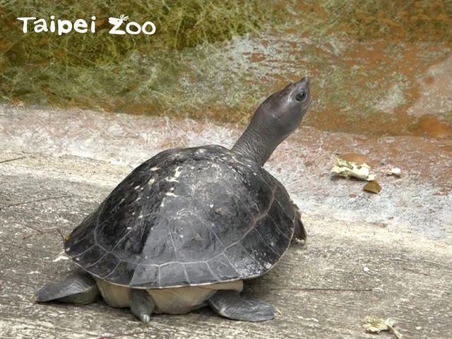 三線潮龜因龜殼似西瓜,被暱稱為「西瓜龜」。(台北市立動物園提供)