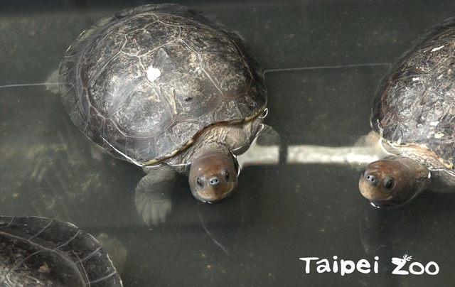 台灣冬季濕冷,保育員怕西瓜龜真的變成「冰鎮西瓜」,暫時移至後場室內環境照顧。(台北市立動物園提供)