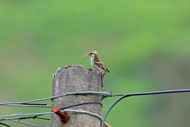 山麻雀母鳥(嘉義林管處提供)