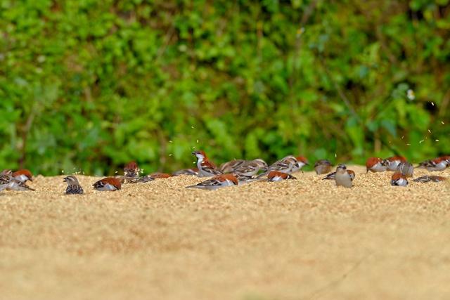 山麻雀在餌站覓食,模樣超級可愛(嘉義林管處提供)