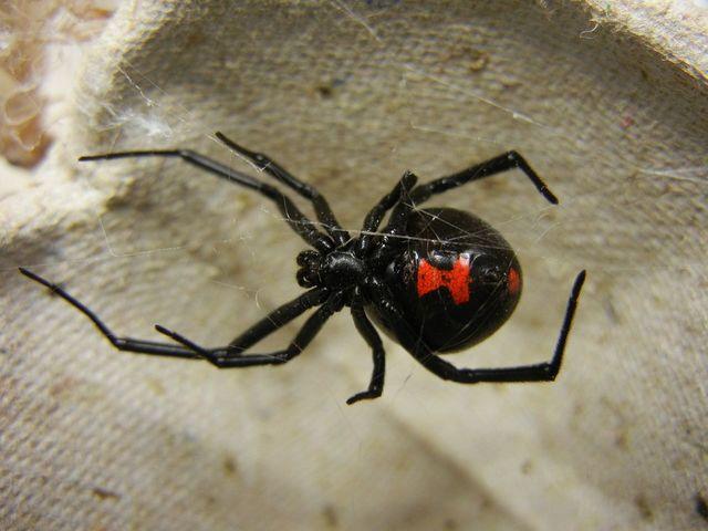 蜘蛛「黑寡婦」是世界上毒性最強的生物之一。(翻攝/維基百科)