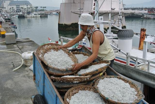 新北市魩鱙漁業主要產地為淡水區海域。(農業局提供)