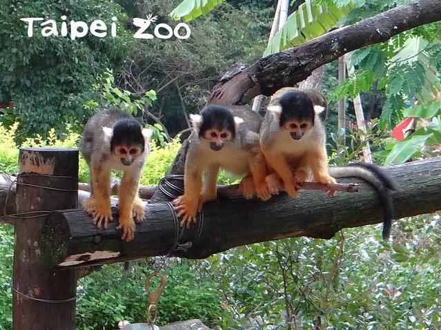 動物園喜事不斷 黑冠松鼠猴寶寶黏緊媽媽首亮相!   黑冠松鼠猴是原本分布於亞馬遜河流域上游集水區的小型靈長類。(台北市立動物園提供)