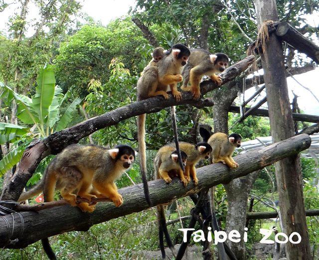 動物園喜事不斷 黑冠松鼠猴寶寶黏緊媽媽首亮相!   台北市立動物園黑冠松鼠猴家族有7隻母猴和2隻公猴。(台北市立動物園提供)