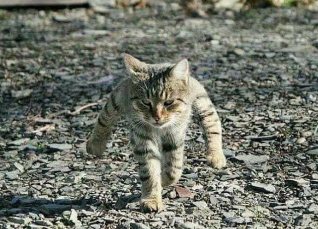 超壯貓咪。(翻攝推特)