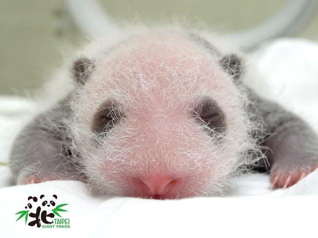 大貓熊寶寶今(13)日出生滿15天。
