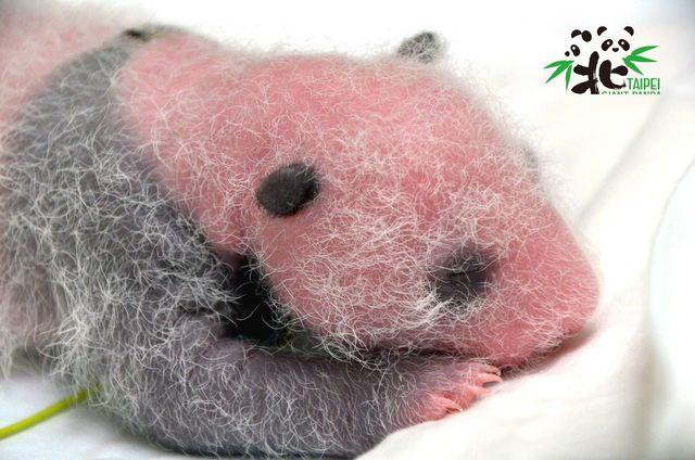 大貓熊寶寶的黑眼圈、耳朵到小背心等色斑特徵,越來越明顯。