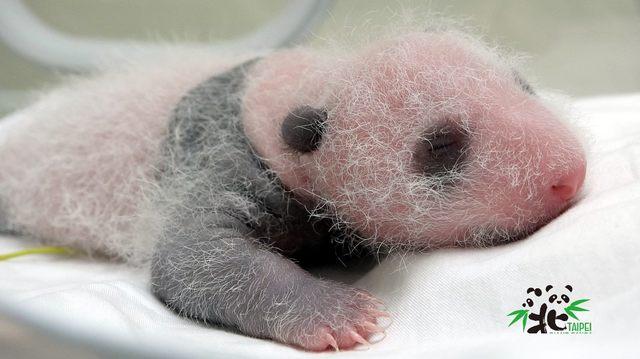 大貓熊寶寶的毛開始長長,變得比較怕熱。