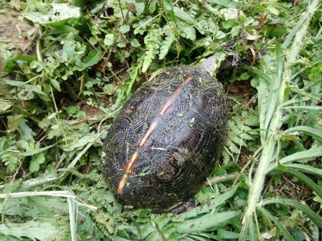 草叢中發現食蛇龜。