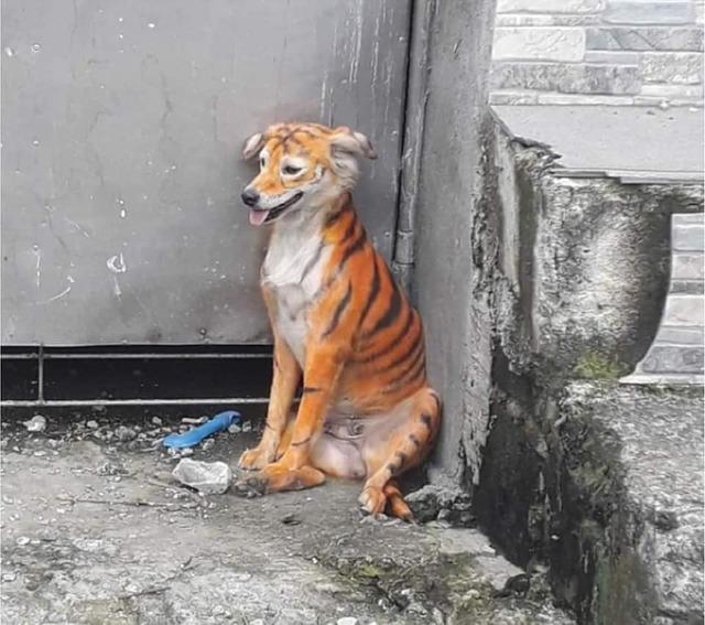 馬來西亞一隻流浪狗被人惡作劇畫成有如「跳跳虎」的外觀。(翻攝自Malaysia Animal Association)