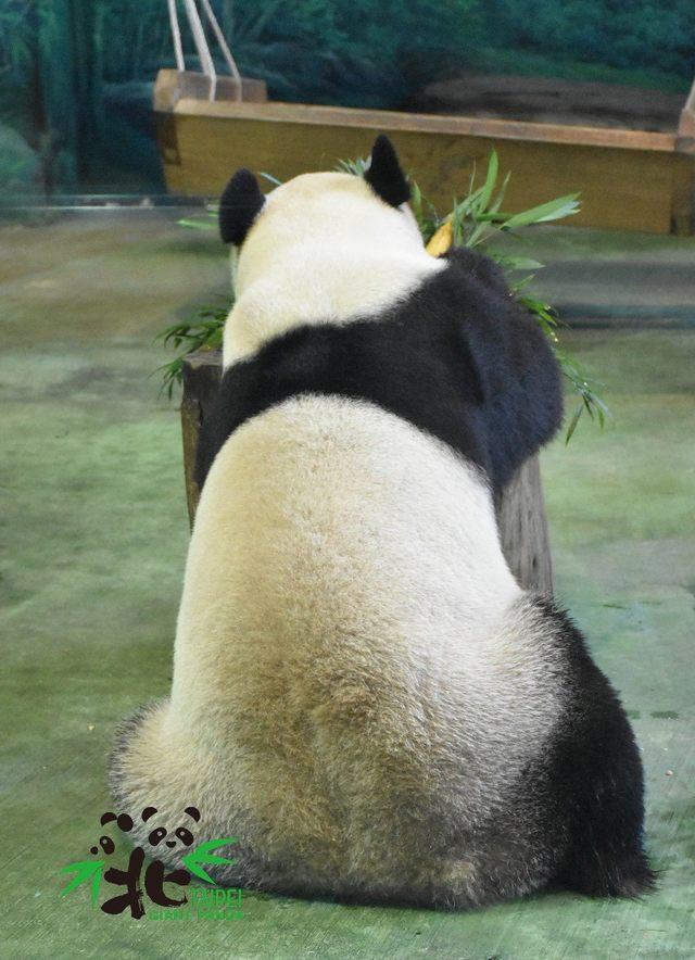 「圓寶」甜看鏡頭 轉身黑背心獨帶L印記 | 貓熊團團的背心。