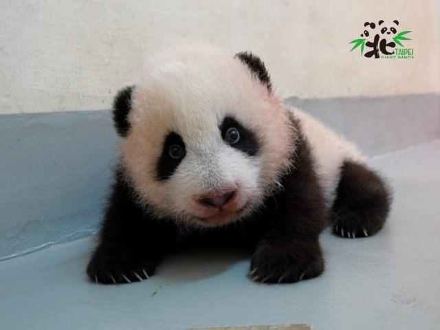 圓寶學爬竟偷溜出產房  圓圓發現後「秒拎回」   (台北市立動物園提供。)