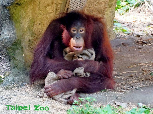 「猿」的尾巴已退化而不可見,此為紅毛猩猩。(台北市立動物園提供)