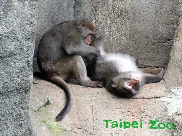 大部分的「猴」都有明顯的尾巴,可用來保持平衡。(台北市立動物園提供)
