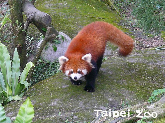小貓熊和大貓熊在演化上並非系出同門,而是為了適應環境所衍生的「趨同演化」(台北市立動物園提供)
