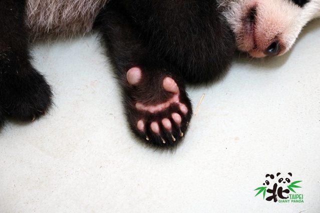 大貓熊和小貓熊前掌都有特化的腕骨形成第六指或稱偽拇指。(台北市立動物園提供)