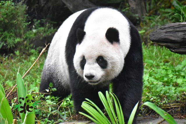 黑白色系的大貓熊較常在地面活動,尾巴很短。(台北市立動物園提供)