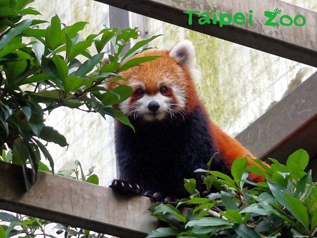 小貓熊別名紅貓熊、火狐狸,毛髮是咖啡色系,跟浣熊較有親緣關係。(台北市立動物園提供)