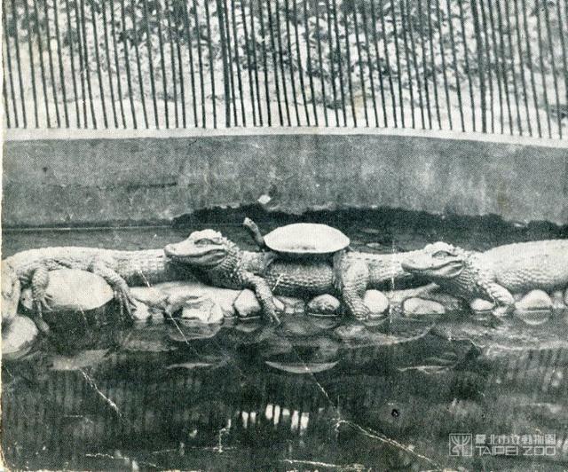 1914年史上第一隻脫逃的鱷魚。(動物園提供)