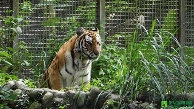 老虎也曾脫逃。(動物園提供)