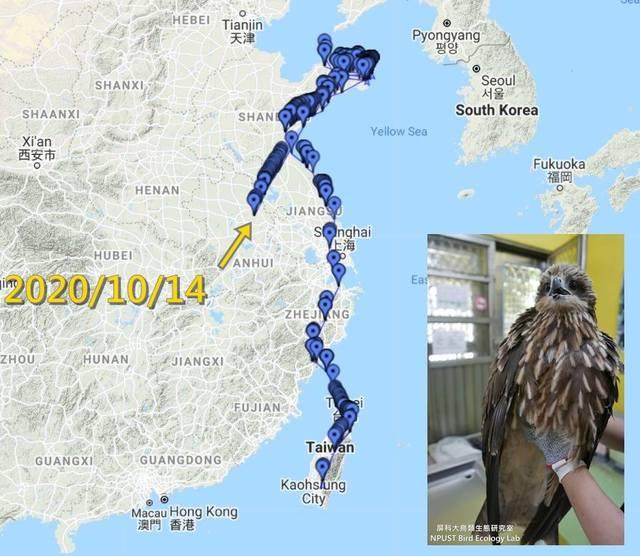 黑鳶「小茄子」8月一度失聯,今突然驚喜收到追蹤訊號回傳。(翻攝自屏科大鳥類生態研究室臉書)