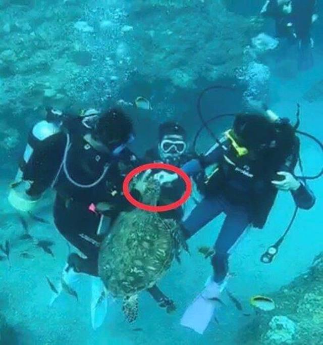 潛水教練涉嫌帶團餵食海龜。(海洋委員會提供)